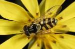 medium_Insecte_sur_fleurs_de_salsifis_syrphe_.jpg
