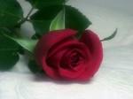 rose-3956796417.jpg