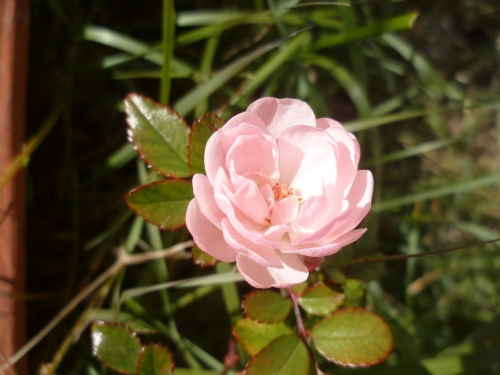 poésie,poème,poète,auteur,culture,nature,été,avril,rose